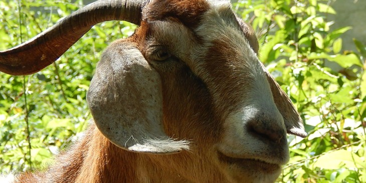 Mindful Monday 8-11-14 (goat)