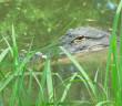 Mindful Monday 4-11-16 Crocodile