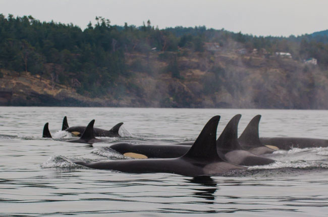 A group of resident orcas